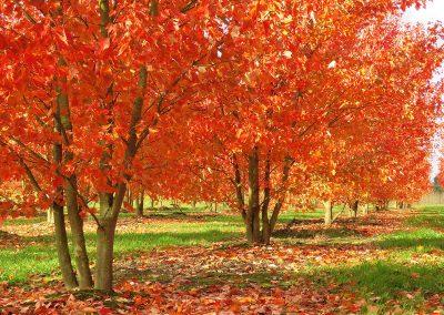 Acer rubrum Red Sunset mehrstämmig aufgeastet