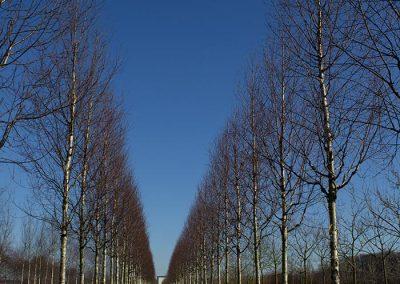 Betula ermanii Holland
