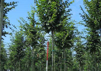 Carpinus betulus Beekmann