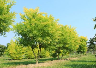 Sophora japonica Golden Standard mehrstämmig aufgeastet