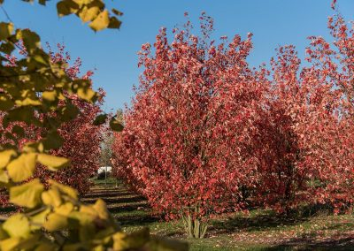 Acer freemanii Autumn Blaze