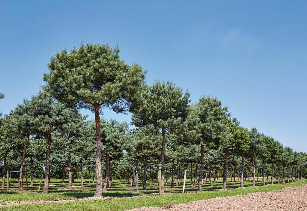 Pinus sylvestris pinienförmig geschnitten