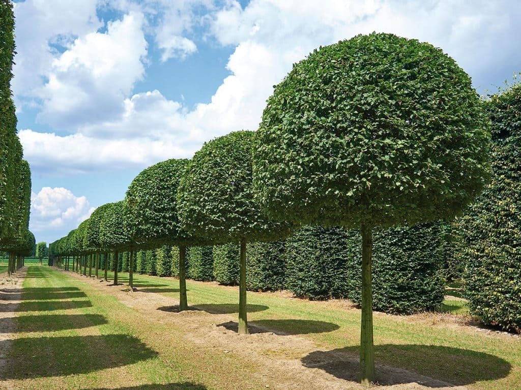 Carpinus betulus Kugelform