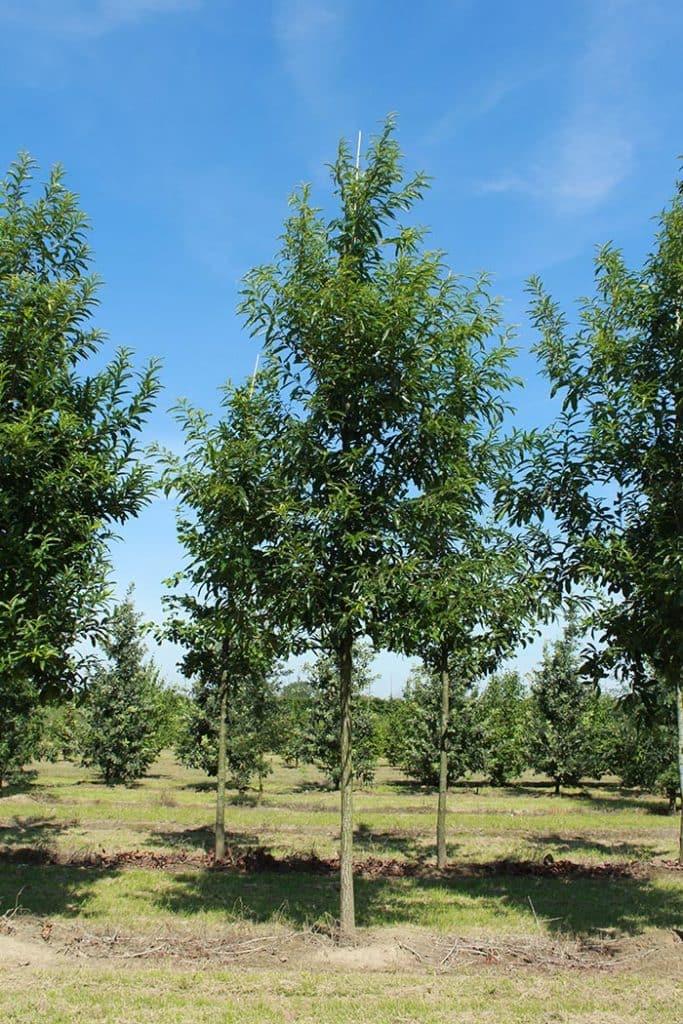 Quercus castaneifolia Green Spire