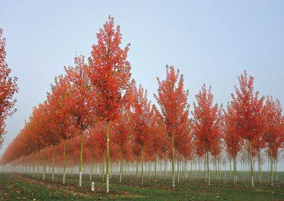 Acer rubrum October Glory Herbstfärbung