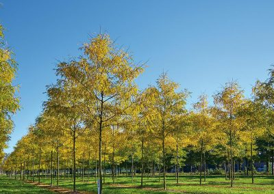 Gleditsia triacanthos Skyline Herbstfärbung