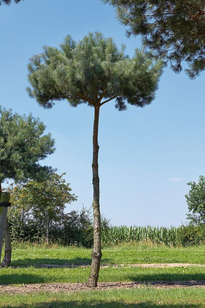 Pinus sylvestris pinienförmig