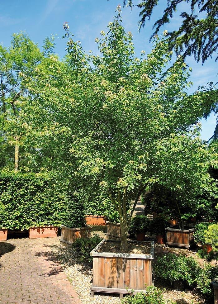 Acer buergerianum